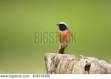 Close Up Of A Common Redstart Perched On A Wooden Post Against Green Background, Uk.