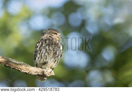Close Up Of A Little Owl (athene Noctua) Perched On A Tree Branch, Autumn In Uk.