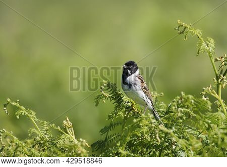 Common Reed Bunting Perched On Bracken, Uk.