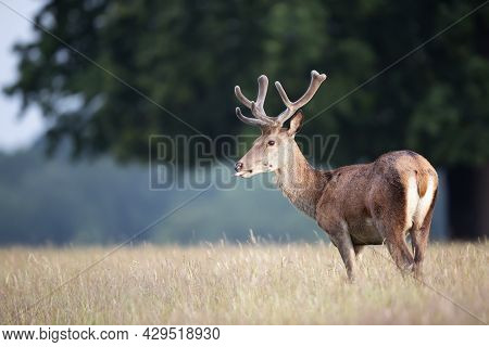 Close Up Of A Red Deer Stag With Velvet Antlers In Summer, United Kingdom.