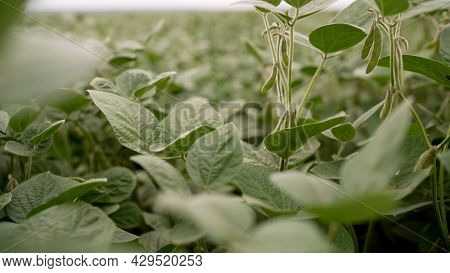 Young Soybean Plants Growing In Cultivated Field. Soybeans Grow In The Field.