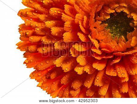 orange flower close up of calendula Isolated on white