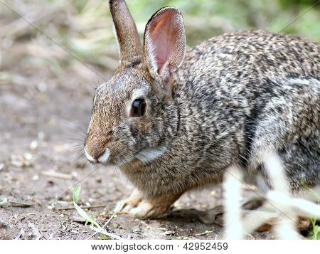 Closeup shot of a Cottontail Rabbit in South Texas poster