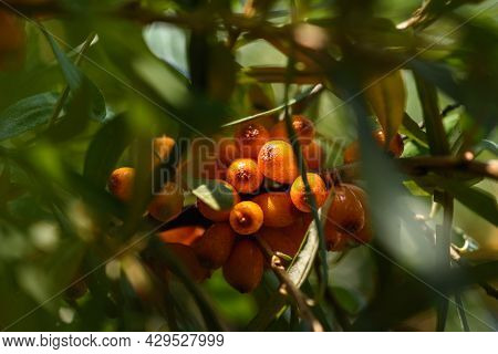 Agriculture. Bush Of Ripe Sea Buckthorn Close Up.