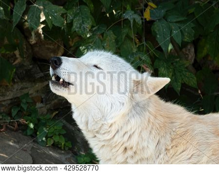 Howling Tundra Wolf. Canis Lupus Albus. Turukhan Wolf