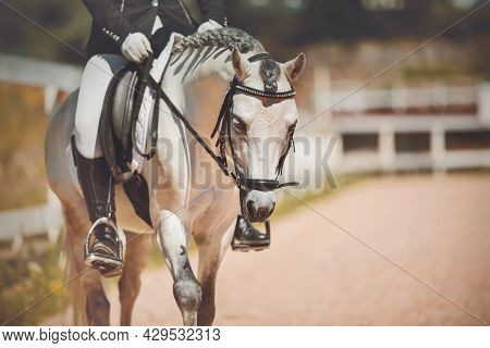 Portrait Of A Beautiful Gray Horse With A Braided Mane And A Rider In The Saddle, Which Is Walking A