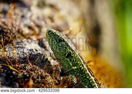 A Male Sand Lizard Sunbathing On A Stone.