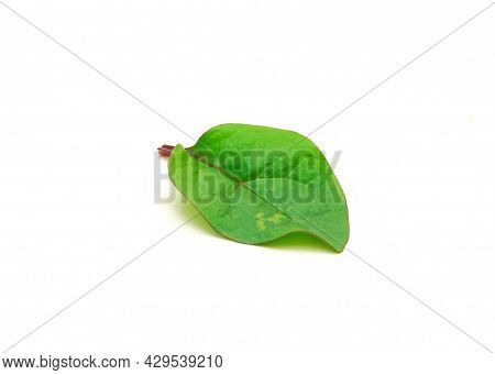 Single Red Malabar Spinach Basella Alba Leaf Isolated On White
