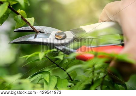Asian Gardener Pruning Shears Tree To Cut Branches On Plant Nature. Hobby Planting Home Garden.