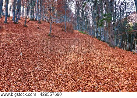 Beautiful Autumn Landscape In The Forest. Fabulous Autumn View With Fallen Leaves. Beech Grove In Au