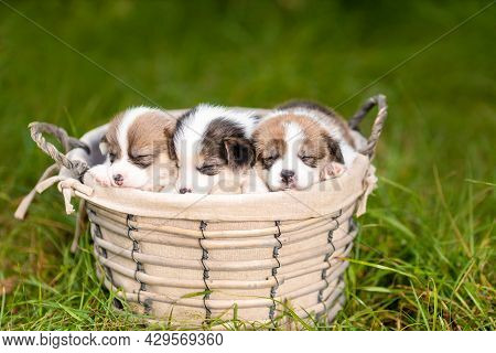 Three Little Sleeping Puppies Of Welsh Corgi Pembroke Breed Dog In Basket At Nature