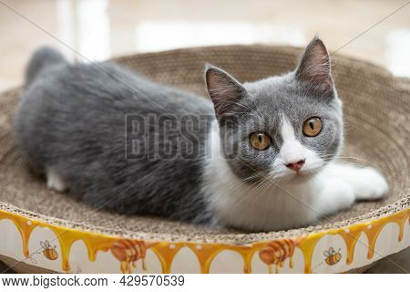 A British Short Hair Cat Laying On A Corrugate Cat Scratcher