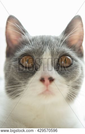 Close Up On A Young British Shorthair Cats Head