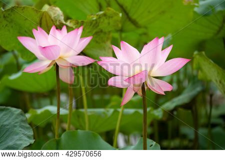 Blooming Lotus Flowers At A Horizontal Composition