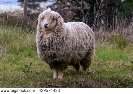 Woolly Merino Sheep Looking Bedraggled In A Cold Environment