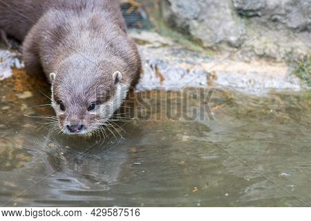 Otter Face Close-up. Asian Small-clawed Otter Amblonyx Cinereus Entering The River Water. Beautiful