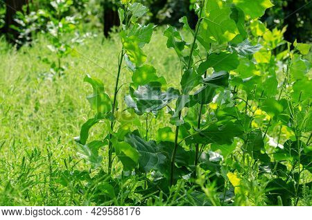 Young Poplar Branches With Green Leaves. New Thin Tree Branches Among The Wild Grasses. Summer Time,