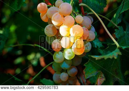 Sweet Taste Riesling Grape Growing In The Garden . Grapes For Wine And Dried Fruit