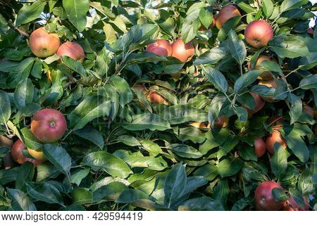 Ripe Royal Gala Apples On An Apple Tree At Serbia Apple Orchard Before Picking Season.
