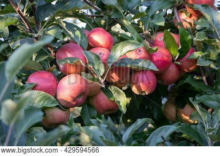 Bunch Of Red Gala Apples On An Apple Tree
