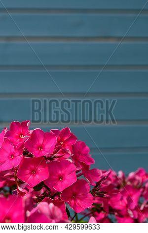 Garden Pink Phlox Paniculate On The Background Of A Blue Wooden Wall. Perennial Phlox