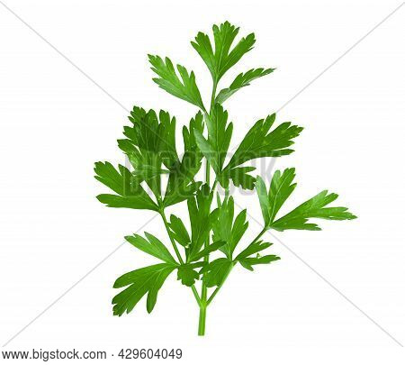 Branch Of Fresh Green Parsley Isolated On White Background