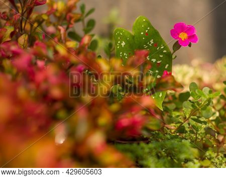 Purslane Is Deliberately Planted As A House Ornamental Plant