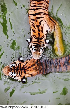 Amur Tigers Swimming In The Pool. Portrait Of A Playing Amur Tigers, Also Known As The Siberian Tige