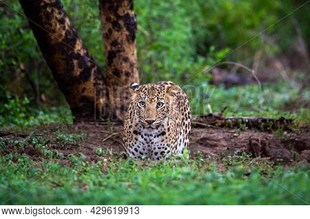 Wild Leopard Or Panther Standing In Natural Monsoon Green Background In Wildlife Safari At Forest Of