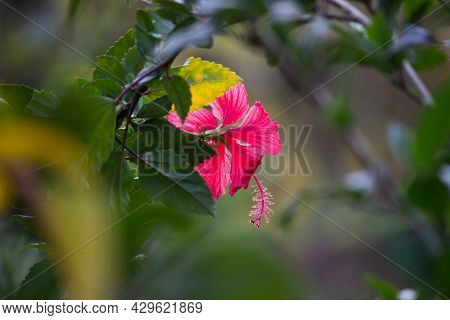 Hibiscus Flower In The Mallow Family, Malvaceae. Hibiscus Rosa-sinensis, Known Shoe Flower Or Colloq