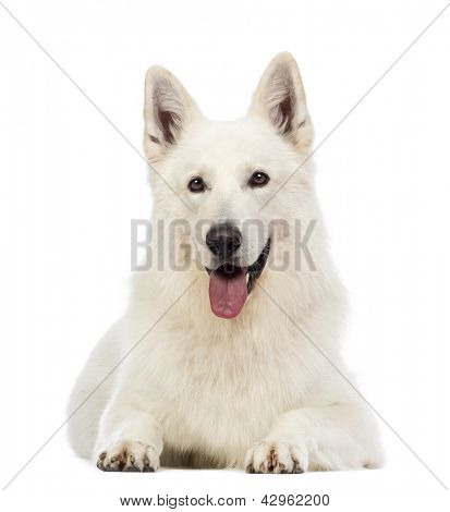 Swiss Shepherd dog, 5 years old, lying, panting and looking at the camera in front of white background