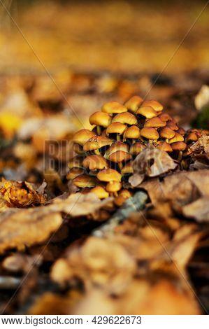 Group Of Wild Yellow Mushrooms Bonnet Mycena Renati Growing On The Tree Stump. Many Dangerous Inedib