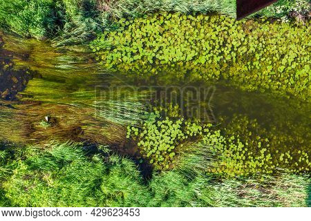 Green Algae, Grass, Water Lilies Float In A Transparent River. Ecosystem, Environmental Protection