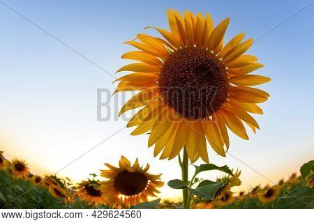 Sunflower Flower In A Field In Sunbeams Against The Sky. Agriculture And Agroindustry
