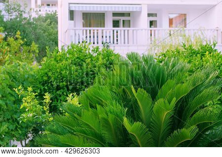 Cycas Revoluta. Green Palm Tree On Seashore. Lush Green Palm Leaves In Sunny Day. Rest, Vacation And