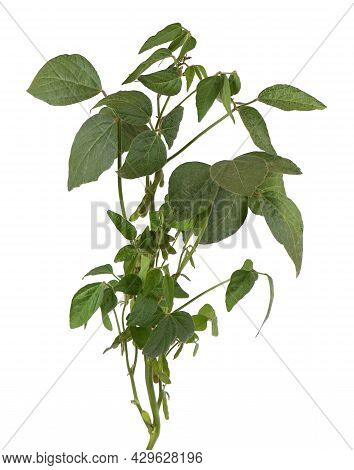 Green Soybean Bush Isolated On White Background.