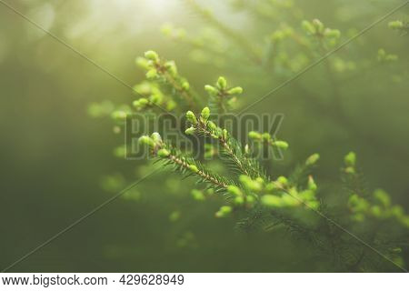 Beautiful Spruce Branches With Young Green Needles Grow On A Summer Foggy Sunny Morning In A Spruce