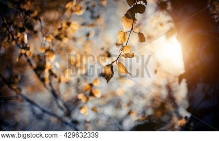 Autumn Background With Yellow Leaves On Branches Against The Background Of The Sunset. Golden Autumn