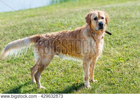 Wet Golden Labrador Dog Staying Near The Water.very Happy Labrador Retriever. Water Is Near.closeup.