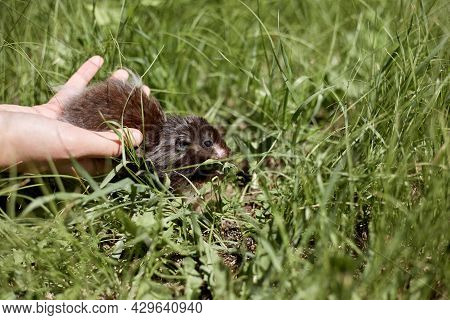 A Small Syrian Hamster Goes Free To Walk On The Green Grass.