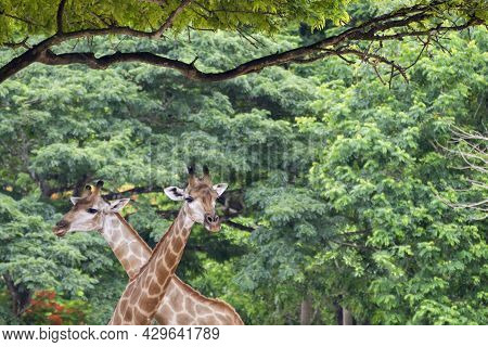 Two Nature Wild Giraffes Are Crossing Head And Looking At Camera Together On Safari National Park In