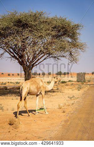 The Dromedary, Arabian Camel (camelus Dromedarius) With Legs Bound Walking, United Arab Emirates, Wi
