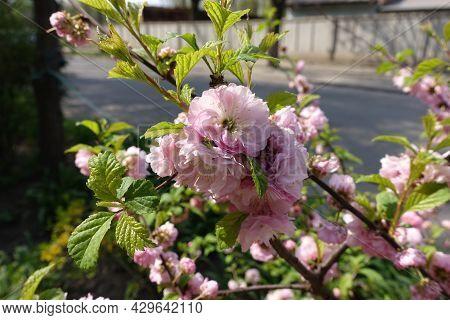 Light Pink Flowers Of Prunus Triloba In Mid April