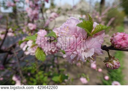 Showy Double Pink Flowers Of Prunus Triloba In Mid April