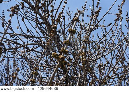 Branches Of Acer Negundo With Flower Buds In Mid March