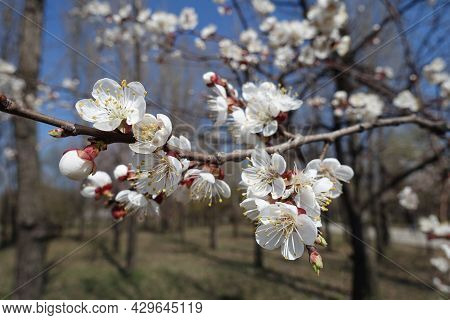 Reddish Sepals, White Petals And Yellow Stamens Of Apricot Blossom In April