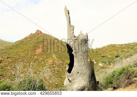Remnants Of A Burnt Oak Tree On A Burn Area Caused From A Past Wildfire Taken At An Arid Plain In Th
