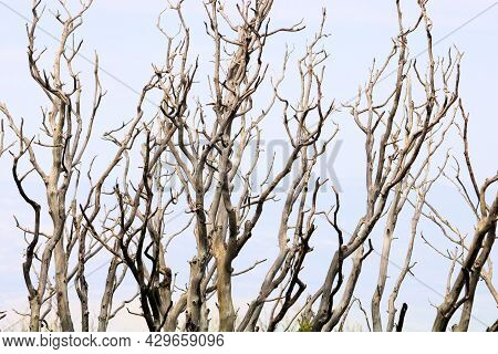 Abstract Image Of Parched Branches On A Chaparral Plant Caused From A Past Wildfire Taken At A Burn