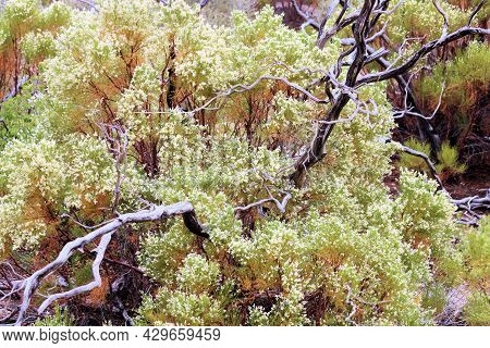 Old Growth Chaparral Shrub Burnt From A Wildfire Besides A New Growth Shrub With Flower Blossoms Tak