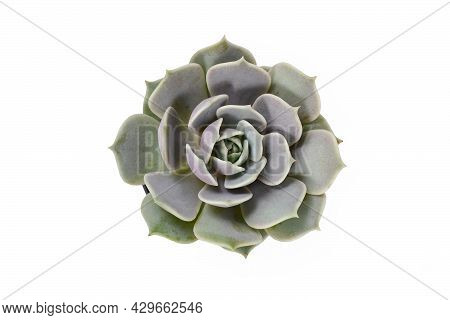 Top View Of Echeveria Succulent Plant Isolated On White Background